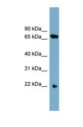 NBP1-59897 - SLC24A4