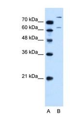 NBP1-59408 - SLC26A1 / SAT1