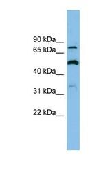 NBP1-59652 - SLC26A1 / SAT1