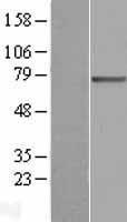 NBL1-16081 - SLC27A3 Lysate