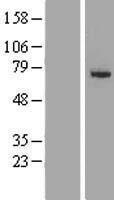NBL1-16084 - SLC27A6 Lysate