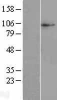 NBL1-16136 - SLC38A10 Lysate
