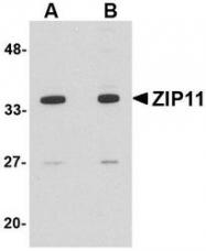 NBP1-77344 - SLC39A11 / ZIP11