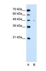 NBP1-69535 - SLC43A3