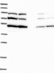 NBP1-85054 - SLC46A3