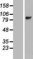 NBL1-16179 - SLC6A15 Lysate