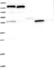 NBP1-88814 - SLC7A10 / ASC1
