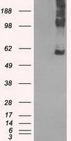 NBP1-47989 - SLC7A8 / LAT2