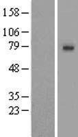 NBL1-16201 - SLCO1A2 Lysate