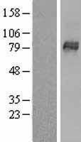 NBL1-16204 - SLCO1B3 Lysate