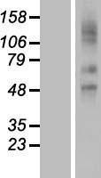 NBL1-16205 - SLCO2A1 Lysate