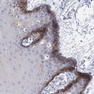 NBP1-80978 - SLCO4A1 / OATP1
