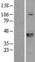 NBL1-16209 - SLFNL1 Lysate