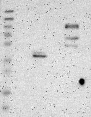NBP1-80741 - Vasorin