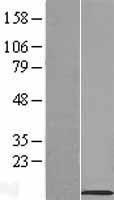 NBL1-16214 - SLN Lysate