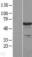 NBL1-12467 - SLP76 Lysate
