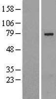 NBL1-16216 - SLU7 Lysate