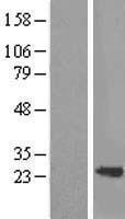 NBL1-16692 - SM22 alpha Lysate