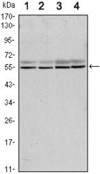 NBP1-51651 - SMAD6