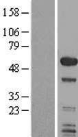 NBL1-16226 - SMAP1 Lysate