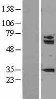 NBL1-16234 - SMARCD1 Lysate
