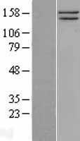 NBL1-16236 - SMC1 Lysate