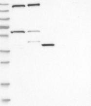 NBP1-86635 - SMC4 / CAPC