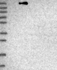 NBP1-82978 - SMCHD1