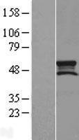 NBL1-16240 - SMCR7L Lysate