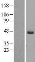 NBL1-16252 - SMPDL3B Lysate