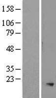 NBL1-16254 - SMR3A Lysate