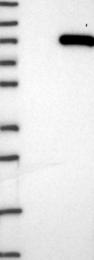 NBP1-81356 - SMYD4
