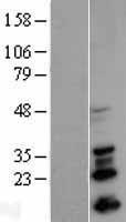 NBL1-16265 - SNAIL Lysate