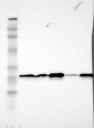NBP1-83162 - SNAP23