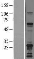 NBL1-16267 - SNAP23 Lysate