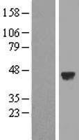 NBL1-16270 - SNAP43 Lysate