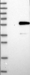 NBP1-89428 - SNIP1