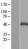 NBL1-16281 - SNIP1 Lysate
