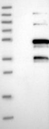NBP1-86760 - SNRNP48 / C6orf151