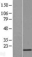 NBL1-16290 - SNRPD2 Lysate
