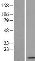 NBL1-16293 - SNRPF Lysate