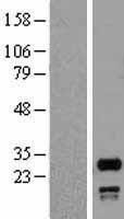 NBL1-16295 - SNRPN Lysate