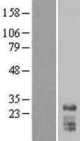 NBL1-16296 - SNRPN Lysate