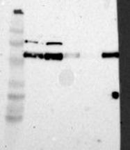 NBP1-85343 - Syntrophin-3 / SNTB2