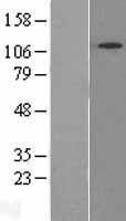 NBL1-16304 - SNX13 Lysate
