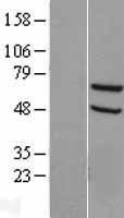 NBL1-16309 - SNX18 Lysate