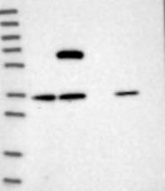 NBP1-80784 - Sorting nexin-25 (SNX25)