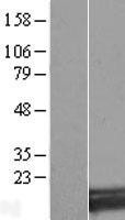 NBL1-16314 - SNX3 Lysate