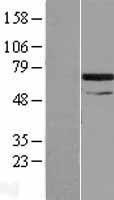 NBL1-16316 - SNX33 Lysate