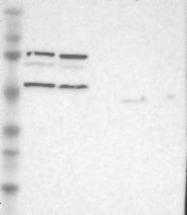 NBP1-88882 - Sorting nexin-4 (SNX4)